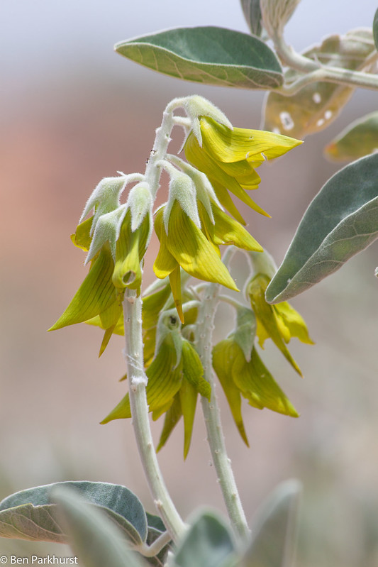 Regal Bird Flower (Crotalaria cunninghamii)