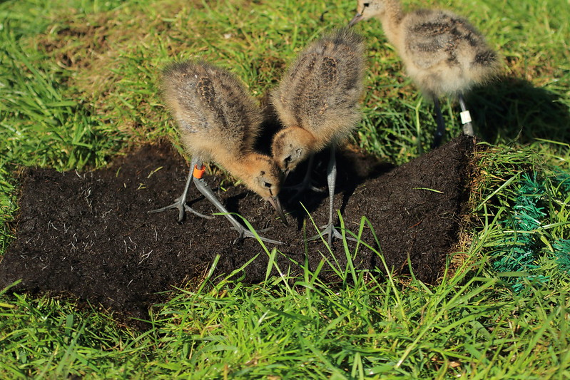 Godwit chicks during outdoor rearing, 20 May 2017 (Photo by: WWT).