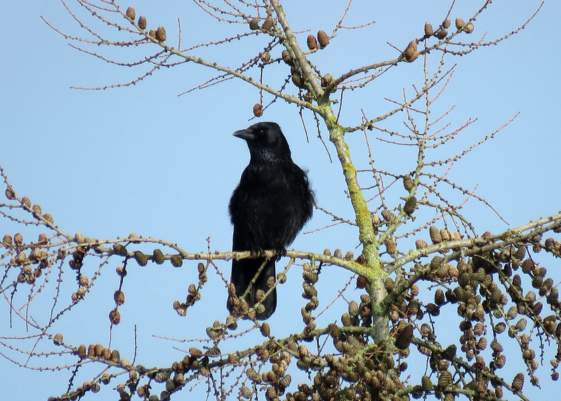 Carrion Crow - Corvus corone
