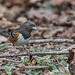 Spotted towhee (Pipilo maculatus). by Fotos by Mí