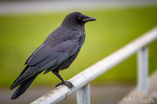 American Crow | by Keith Drevecky