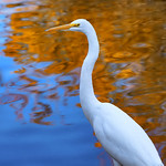 Great Egret - D800-12-17-17DSC_0250_3223