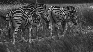 The Three Stooges, uhm, zebras! | by wdicks