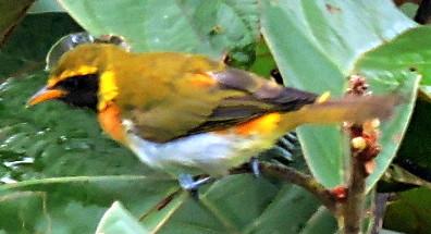 Guira Tanager, Hemithraupis guira