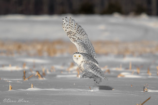 harfang des neiges ( snowy owl ).