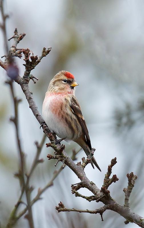 Lesser Redpoll - male