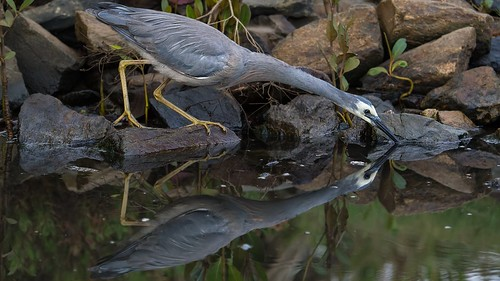reflecting white faced heron | by piggsyface