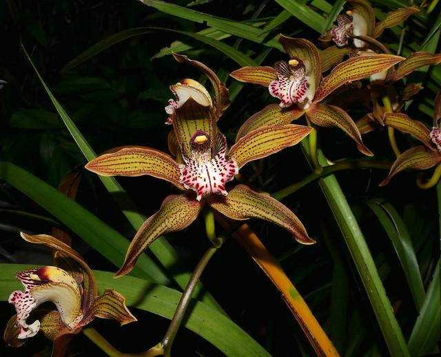 Cymbidium Moira 'Del Norte' hybrid orchid