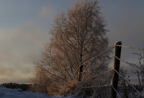 sun sunlight sol solljus birch björk cols kallt winter vinter fence staket frost eos7dmkii sunsetlight solnedgångsljus