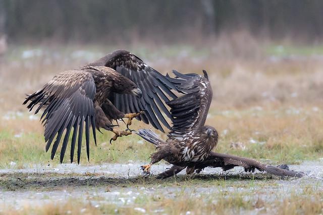 Squabbling Eagles
