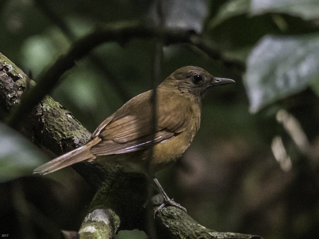 Cocoa Thrush 171221 Asa Wright -282