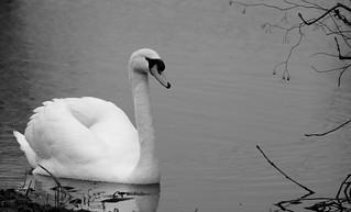 Swan   by johanthole1