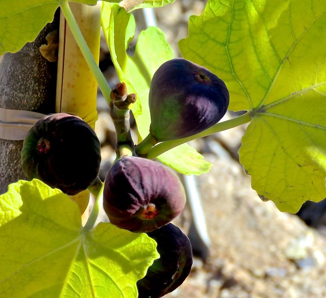 January Figs