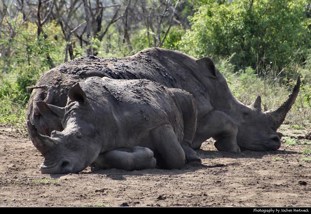 White rhinos taking a nap, Hluhluwe-iMfolozi-Park, South Africa
