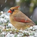 Mrs Cardinal!