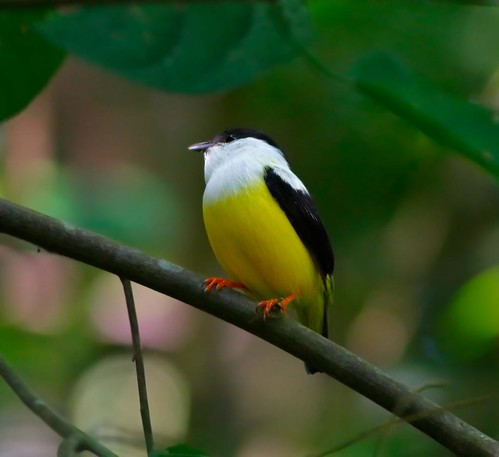 Belize: White-Collared Manakin | by sparrowjack007