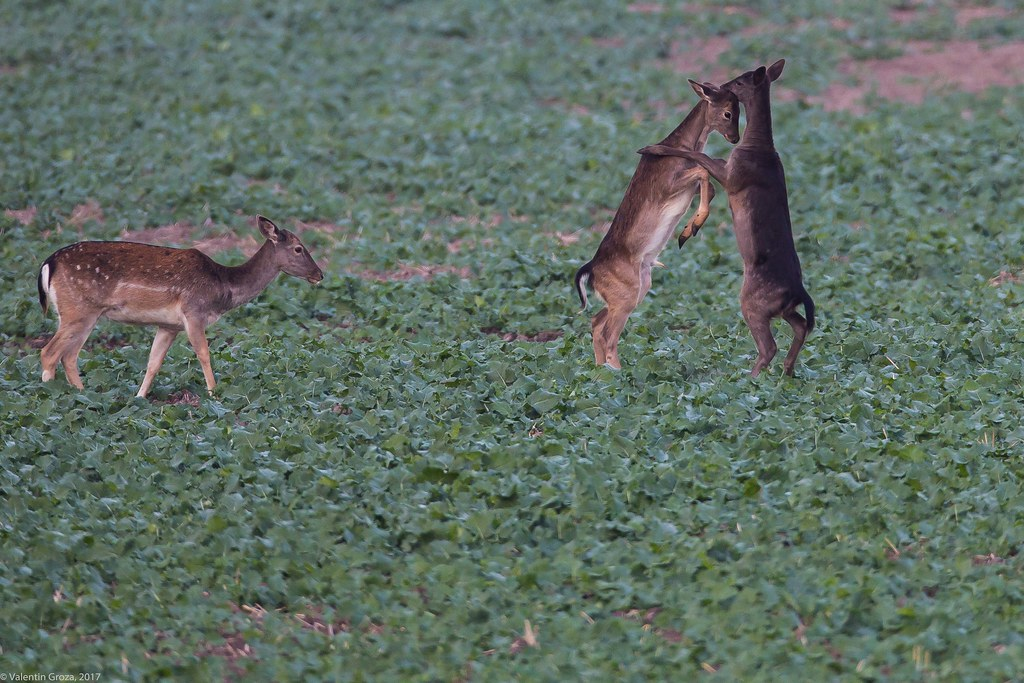 dancing deers 02