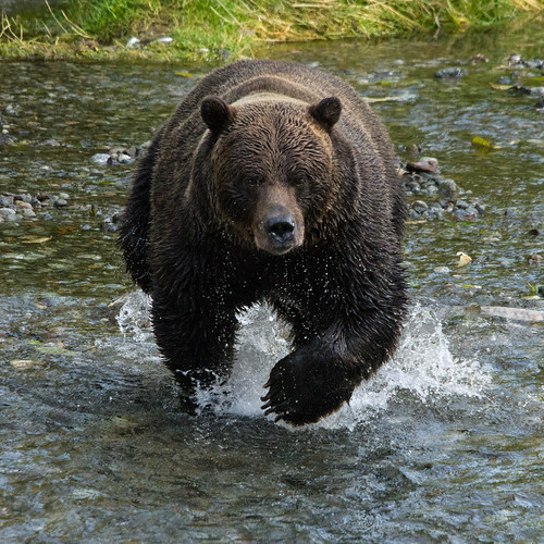 Grizzly Bear Chasing Salmon | by Dawn T