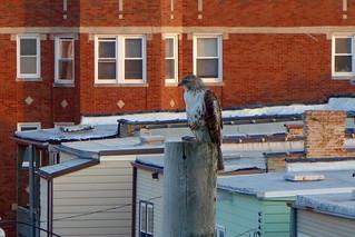city hawk on the hunt