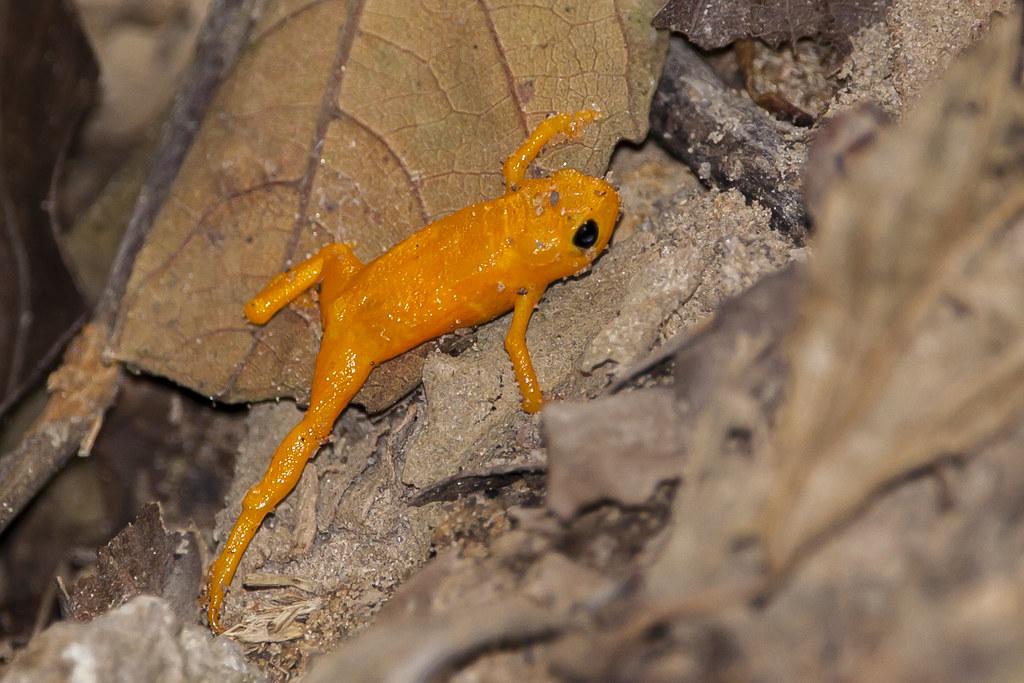 pingo d`ouro - brachicephalus pitanga