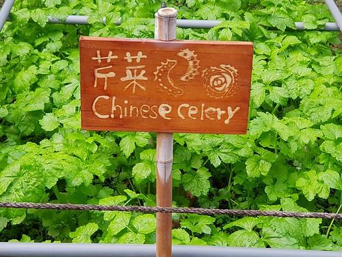 Chinese celery.  Im Botanischen Garten von Taipeh.