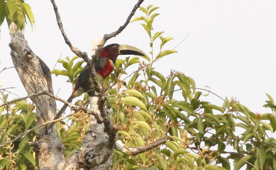 Red-necked Aracari_17-09-22_ Pteroglossus bitorquatus