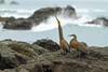 Bare Throated Tiger Herons (Tigrisoma Mexicanum), Corcovado National Park by Free pictures for conservation