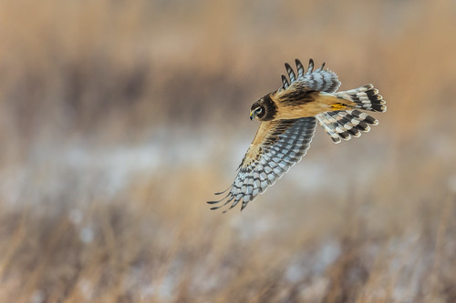 snow winter wings northernharrier wildlife polefarm hunt nature bird harrier mercermeadows birdsofprey fly raptor birdsinflight field pennington newjersey unitedstates us nikon d7200