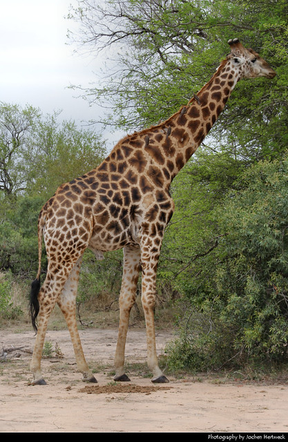 Giraffe, Kruger, NP, South Africa