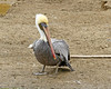 Peruvian Pelican (Pelecanus thagus) by Francisco Piedrahita