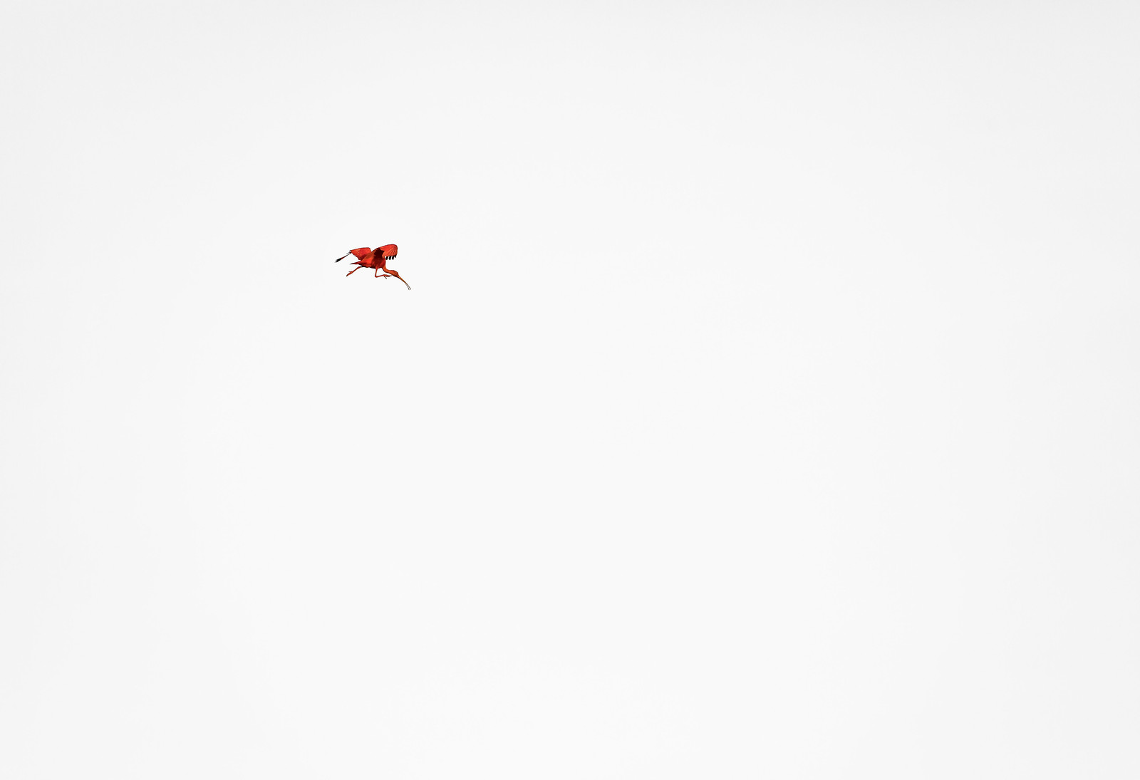 Incoming scarlet ibis