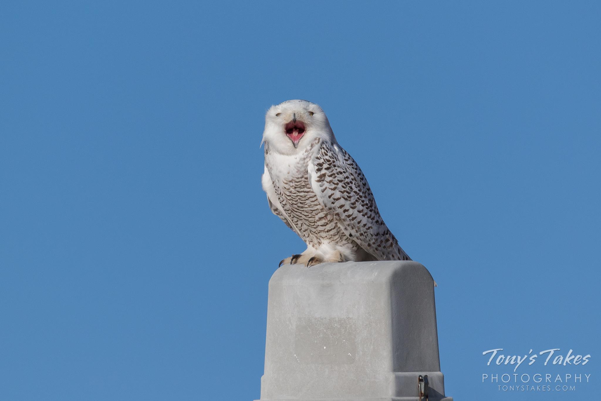 Snowy Owl gives a big, big yawn