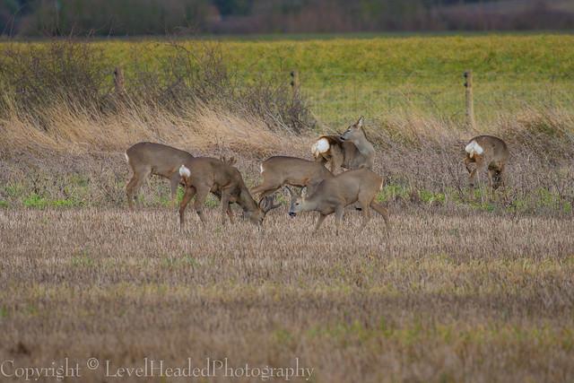 Roe Deer - (Capreolus capreolus) EXPLORED