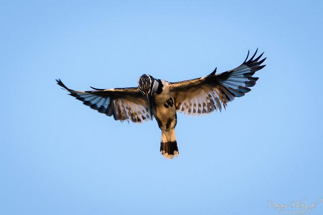 Pied Kingfisher (PB2_2327)