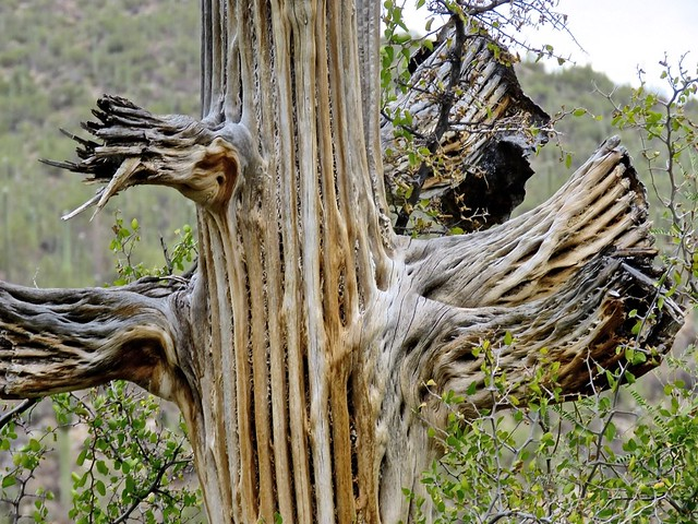 Dead Saguaro Reveals Ribs In Arms