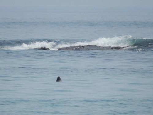 Kejimkujik NP Seaside - zeehond