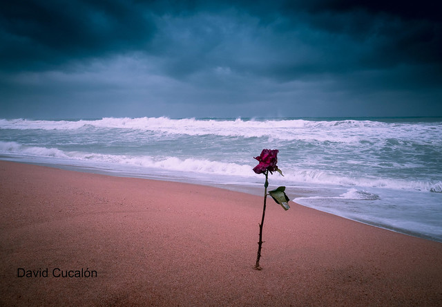 Rose in the storm