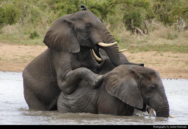 Elephants, Kruger NP, South Africa