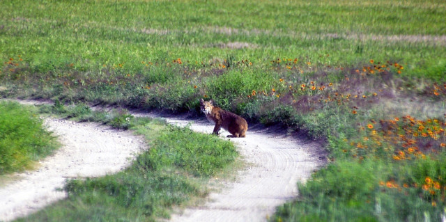 Lynx rufus (bobcat) (above Castle Rock chalk bluffs, Gove County, Kansas, USA) 2