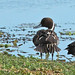 Flickr photo 'Northern Pintail (Anas acuta)' by: Mary Keim.