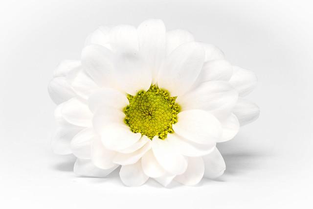hi-key chrysanth