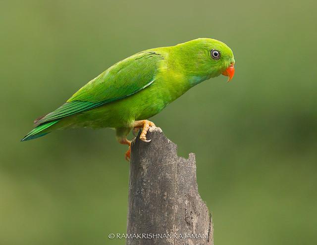 Vernal Hanging Parrot #193