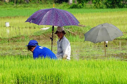 philippines pilipinas teampilipinas pinas philippine filipinas leyte southernleyte island southeastasia asia asian asiatique visayas a6000 ilce6000 sonya6000 sonyilce6000 70200 70200g sonyfe70200g sonyfe70200mmf4goss sony woman women rice field fields umbrella farm farming farmer water green