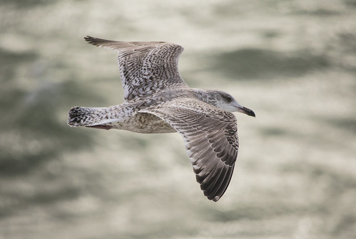 Juv Gull | by Rob-Stephens