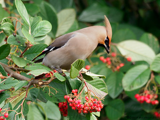 Waxwing | by D Goodwin