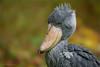 shoebill by klaus.huppertz