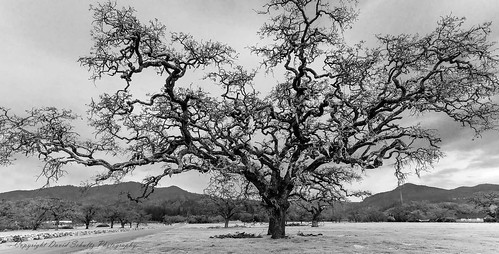 12192017 d810 jacklondonstatepark landscape nikon sigma outdoor californiablackoak quercuskelloggii blackandwhite bw monochrome davidschultzphotography