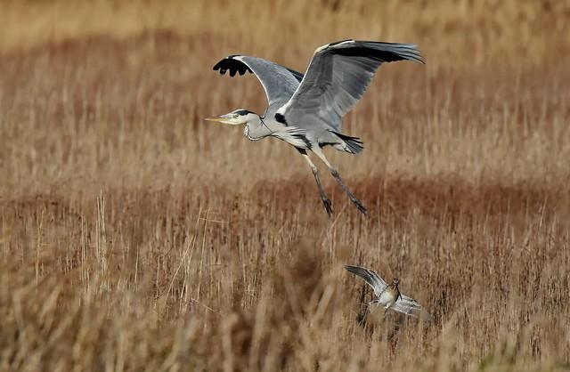 Grey Heron & Snipe