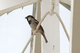 House sparrow | by dmmaus