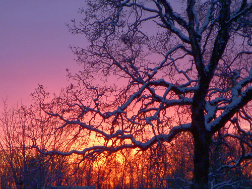 garry oak tree sunrise snow